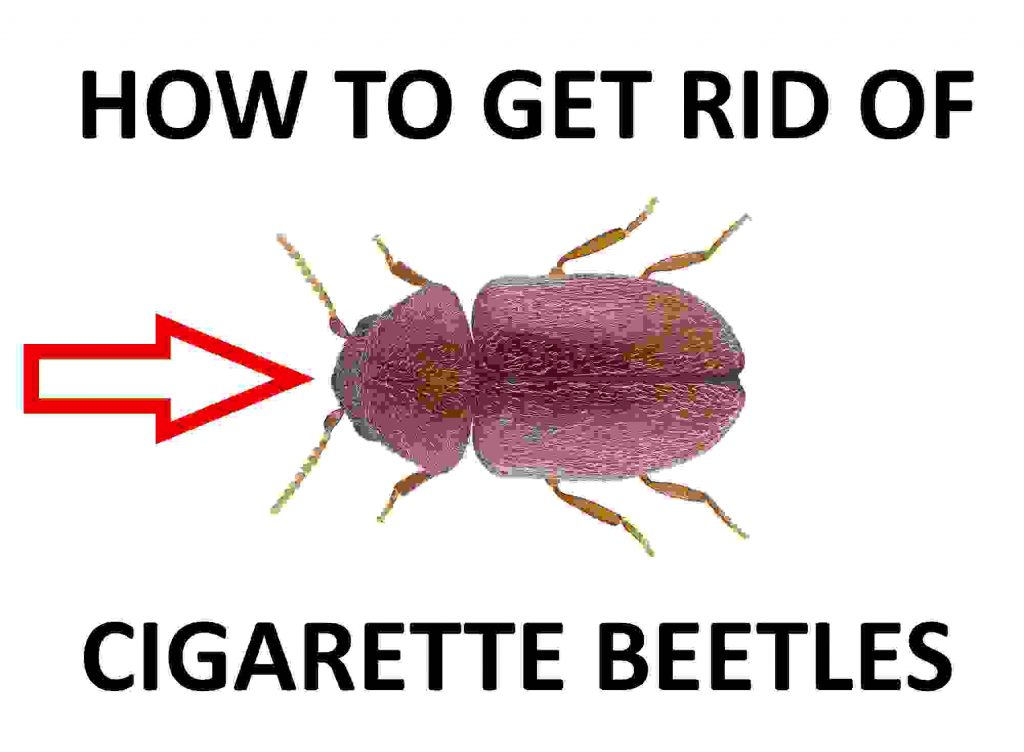 Kill cigarette beetles.