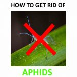 Get Rid of Aphids (For Good) - Natural DIY Home Remedies - 2019