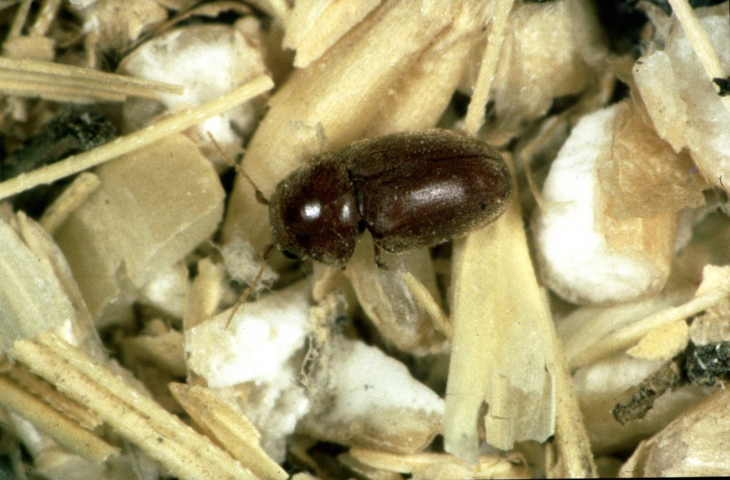Cigarette beetle DIY control.