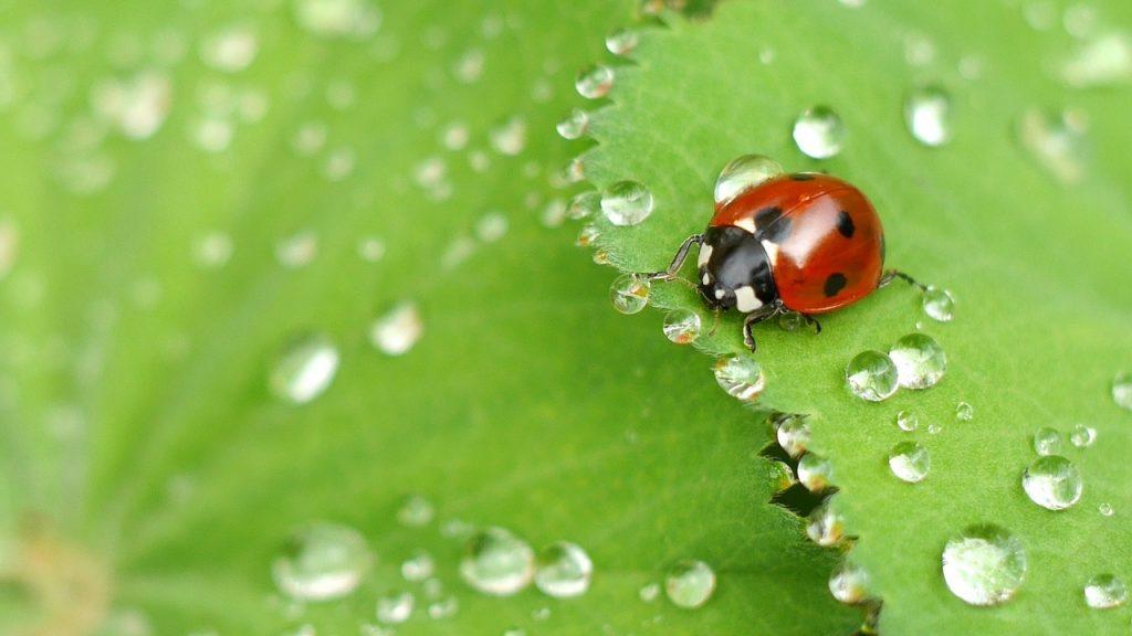 Ladybug aphid control.