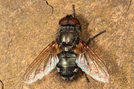 Get rid of cluster flies naturally.