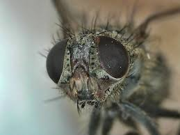 Learn how to get rid of cluster flies easily and naturally.