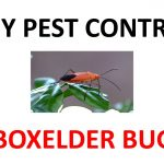How to Get Rid of Boxelder Bugs Permanently (2019)