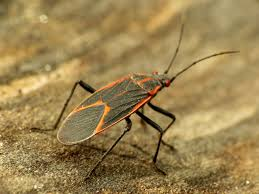 What eats boxelder bugs?