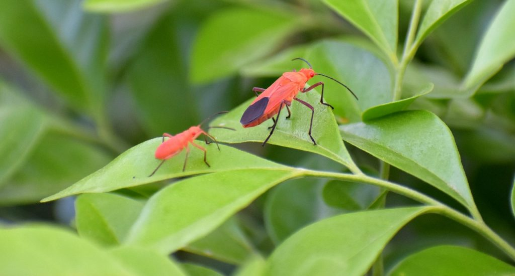 Get rid of boxelder bugs naturally.