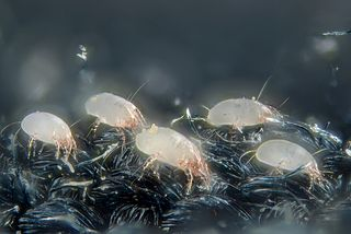 Get rid of dust mites naturally fast.