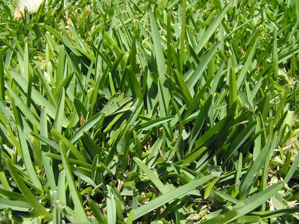 St. Augustine grass and chinch bug damage - how to regrow grass.