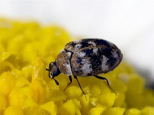 Get rid of carpet beetles permanently and naturally.