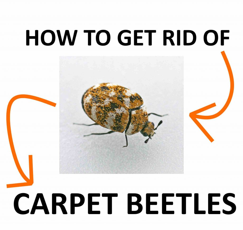 Get rid of carpet beetles.