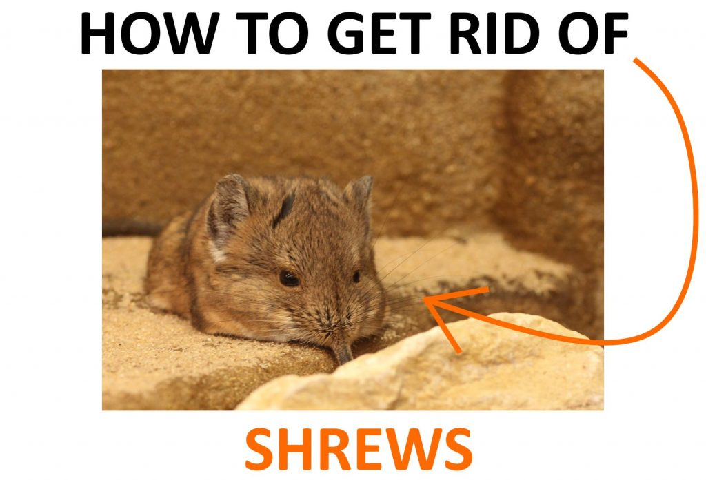 Learn how to get rid of shrews quickly!