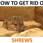 How to Get Rid of Shrews (Naturally) - 2019