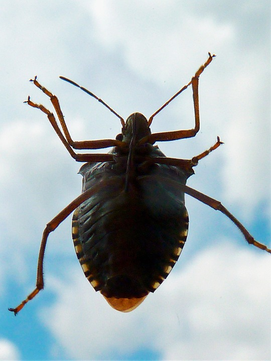 Kissing bug vs. stink bug.