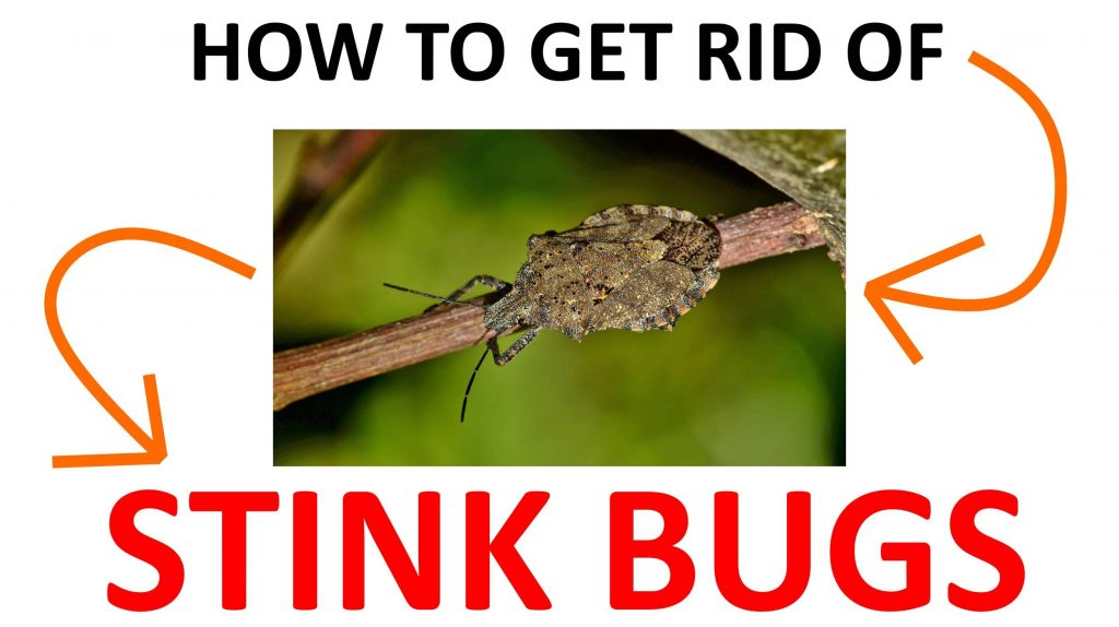 Stink bug natural DIY home remedies.