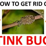 How to Get Rid of Stink Bugs Naturally (DIY Remedies) - 2019