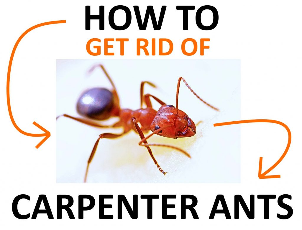 Natural and organic ways to get rid of carpenter ants.