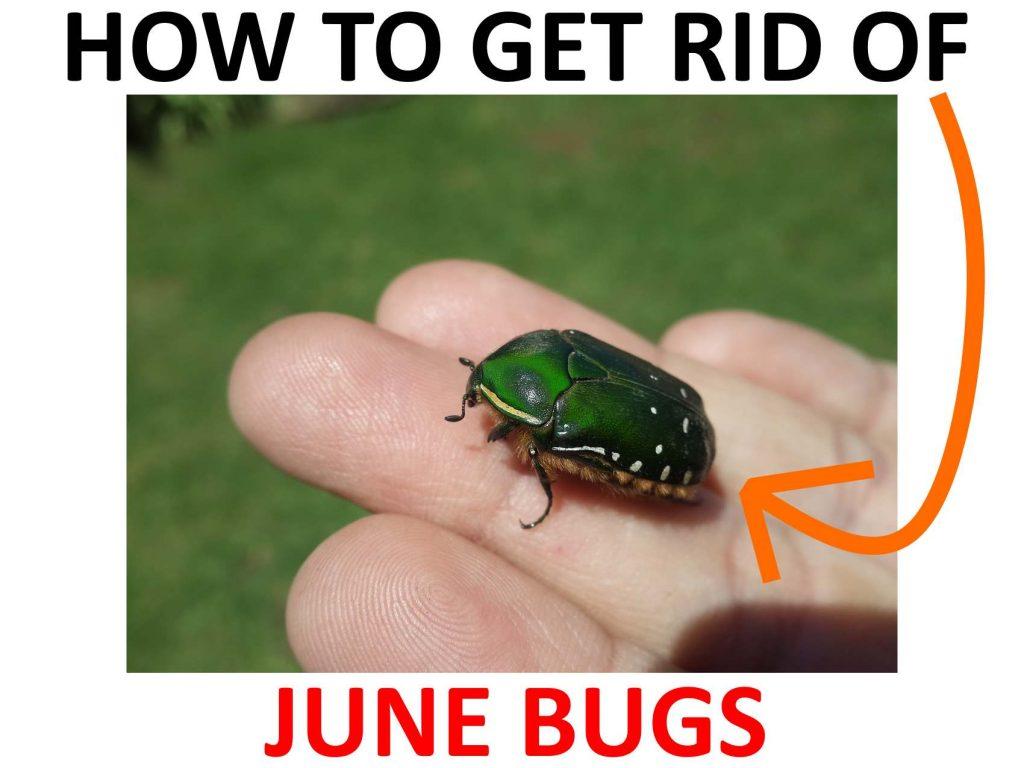 How to get rid of June beetles
