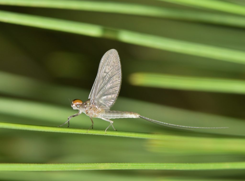 Mayfly outdoors. Mayflies come in swarms and can get difficult to get rid of.