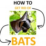 How to Get Rid of Bats Naturally (Little & Big Brown Bats) - 2020