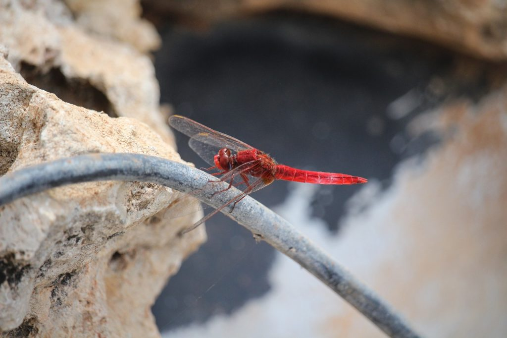 Mayflies are often confused with dragonflies and damselflies.