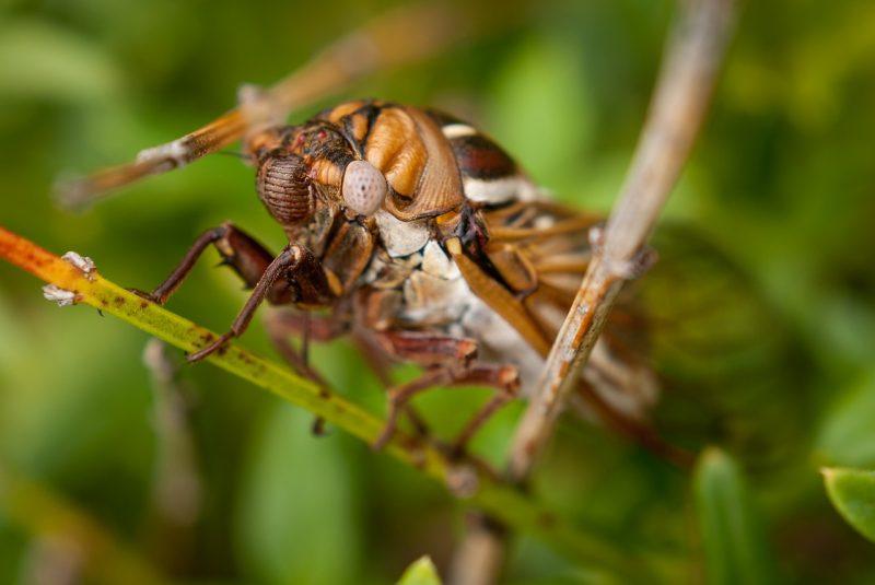 Cicada killer.