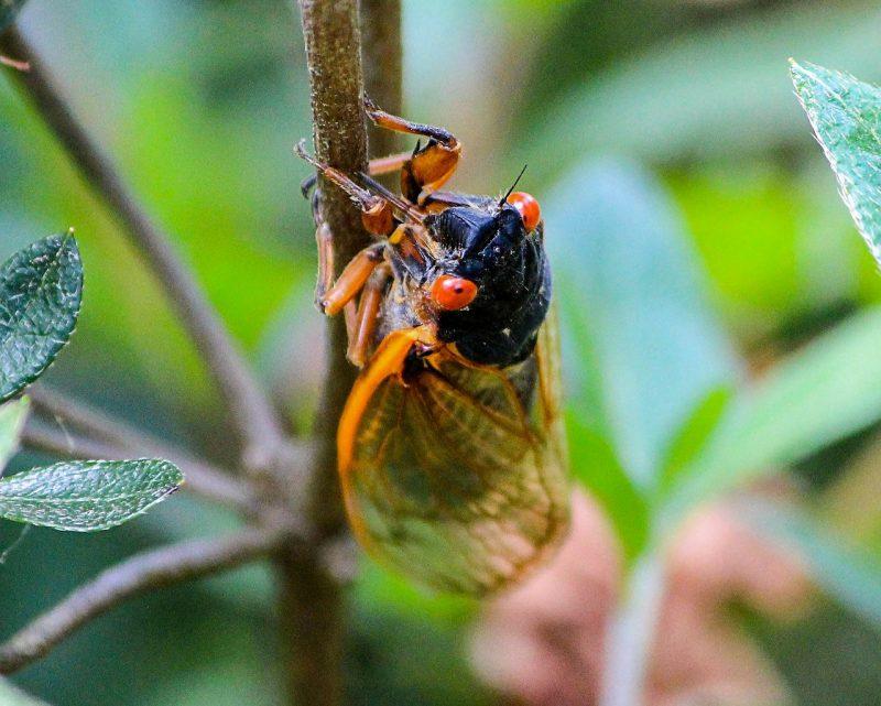 Cicada macro shot.