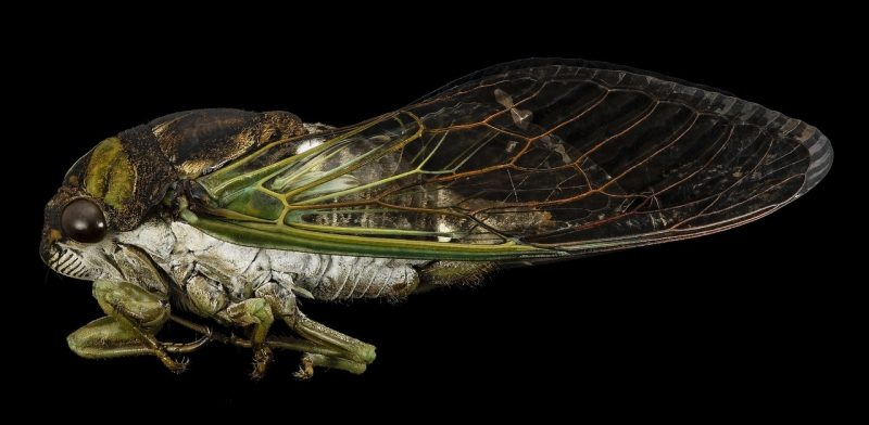 Cicada season.