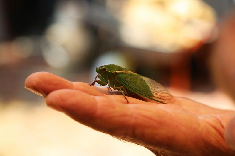 Cicada on hand.