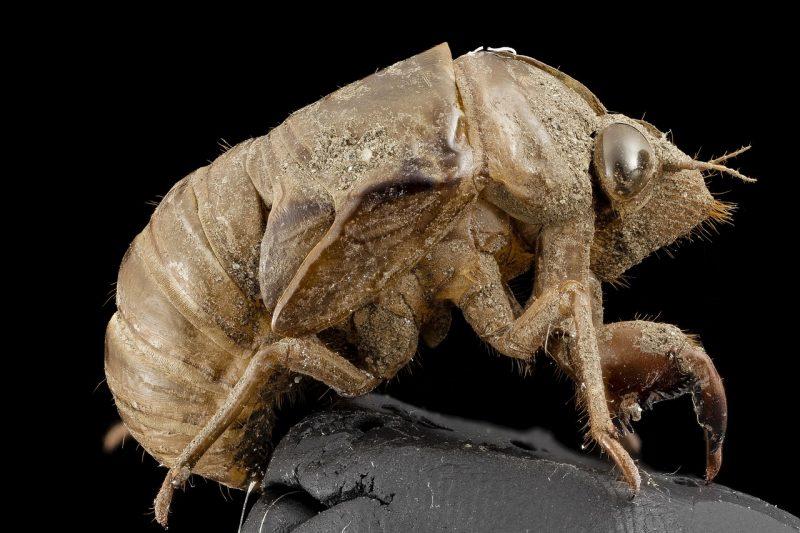Shell of cicada.