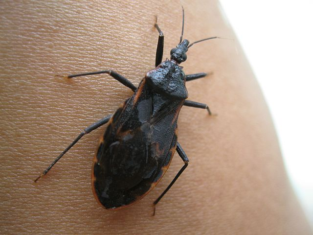 Kissing bug on human skin.
