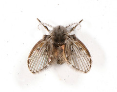 Drain fly anatomy.