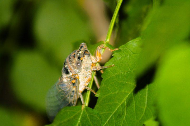 DIY cicada killer.