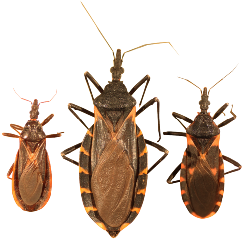 Kissing bug life cycle and how to get rid of them.