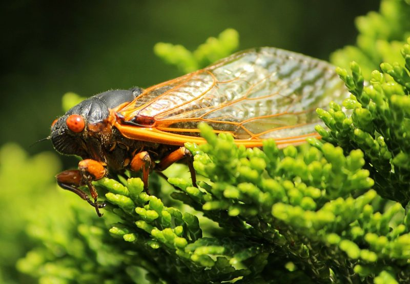 Cicada bug close up.