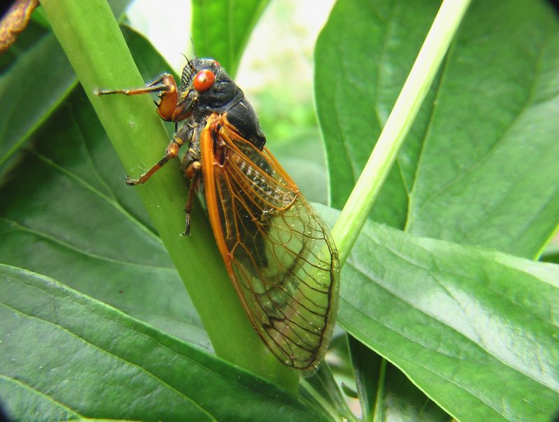 Natural home remedies for cicadas (DIY).