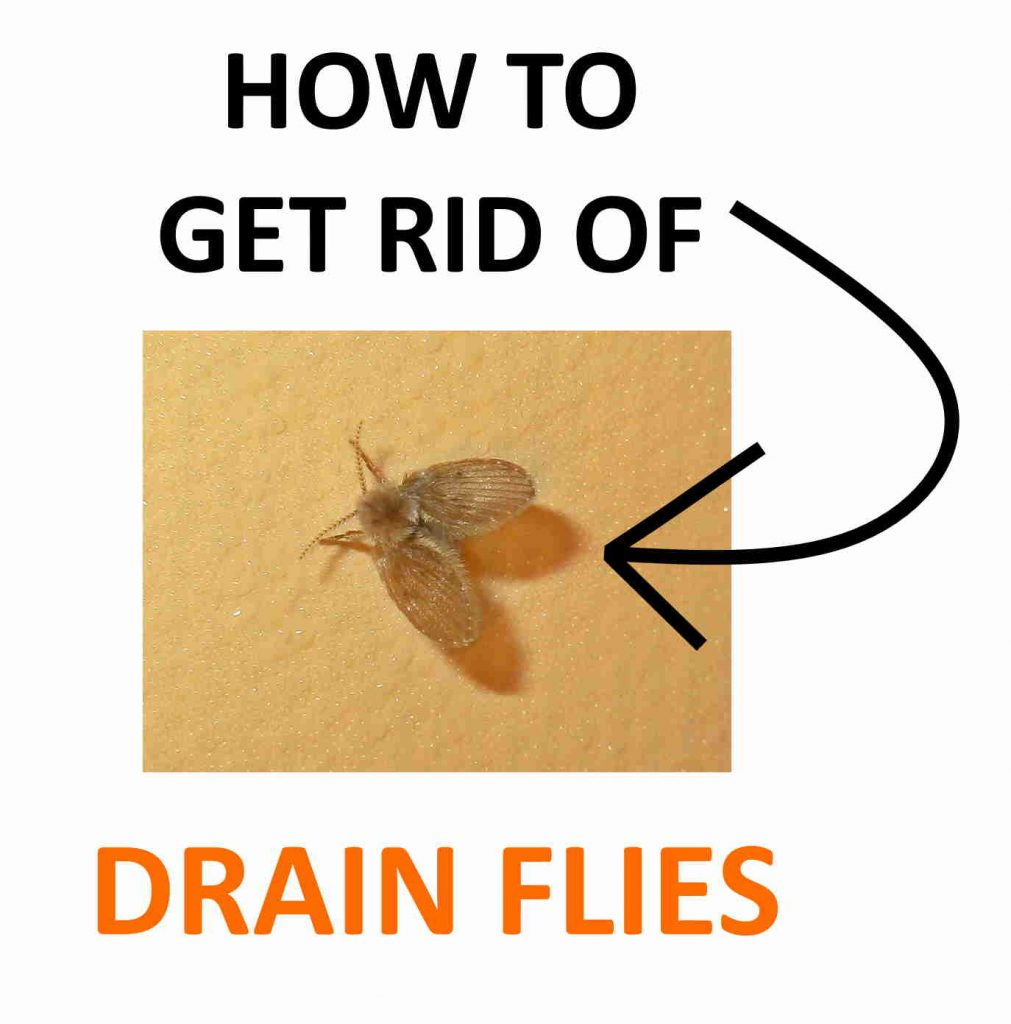 How to get rid of drain flies fast.