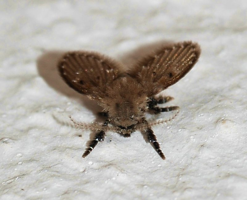 Drain fly on a thick layer of cat litter.