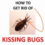 Get Rid of Kissing Bugs Naturally (Ultimate DIY Guide)