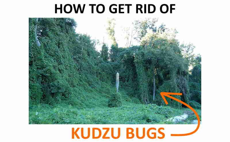 Learn how to get rid of kudzu bugs naturally.