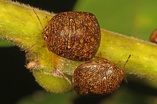How to get rid of kudzu bugs naturally.