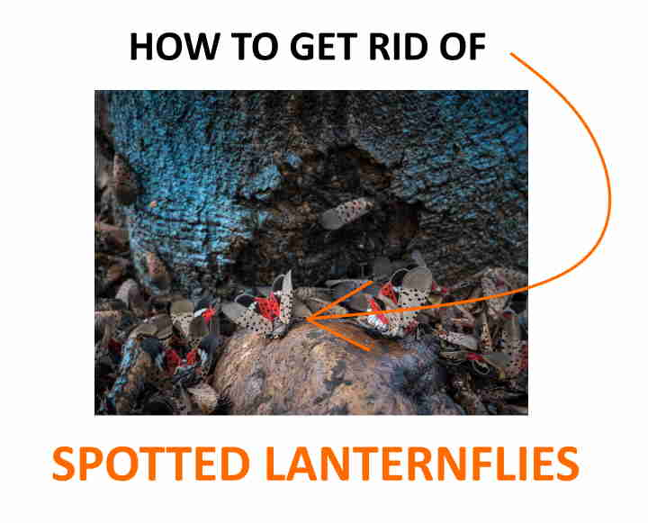 How to get rid of spotted lanternflies naturally using these DIY techniques.