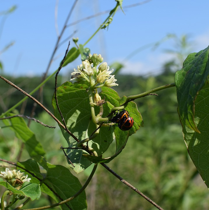 Milkweed beetles and how to get rid of them on milkweed.