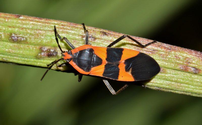 Milkweed bug on plant.