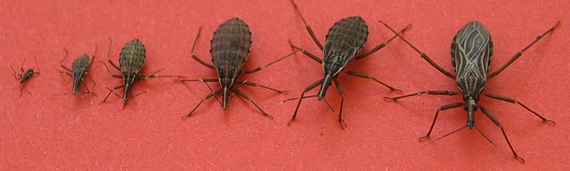 Kissing bug anatomy, sizes, and life cycle.