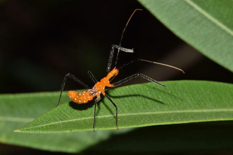 Kudzu bug predator.