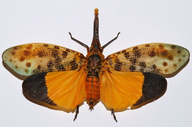 Lanterfly anatomy.