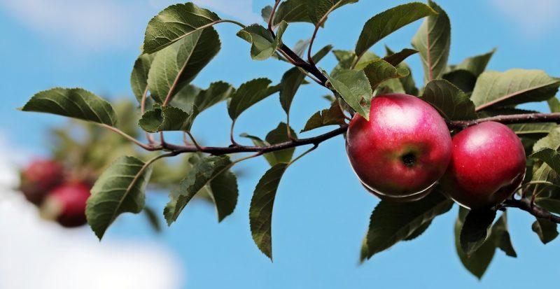 Lanternfly eating fruit trees.