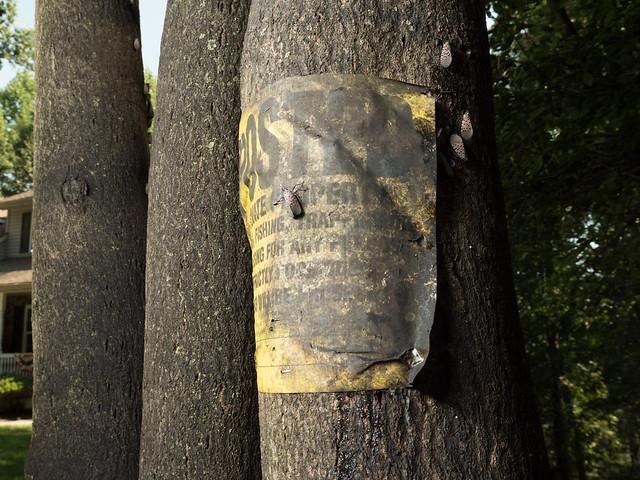 Lanternfly trap tree.