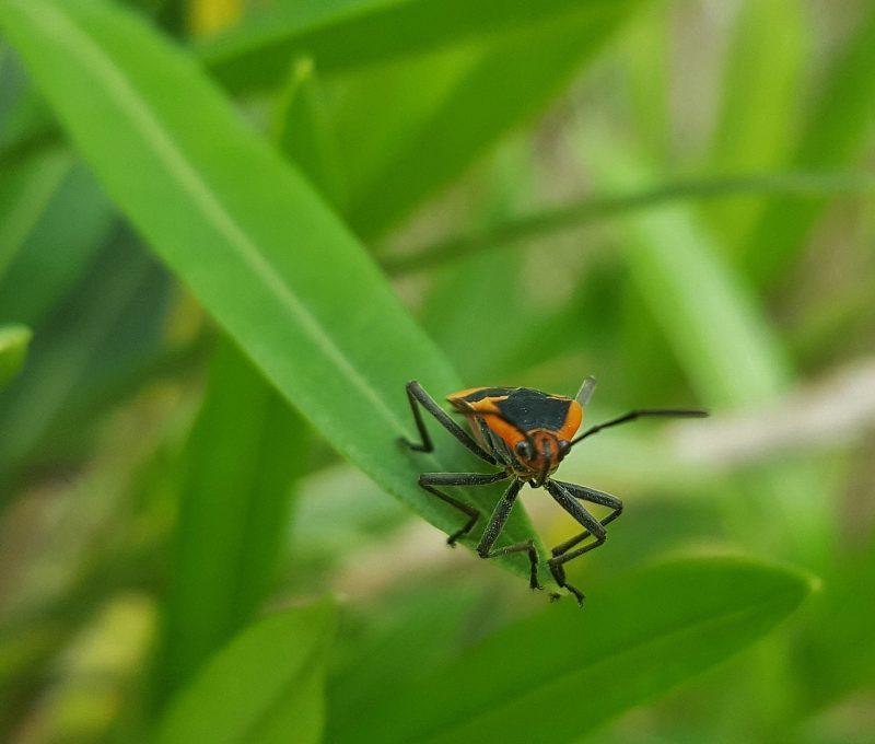 Milkweed bug closeup.