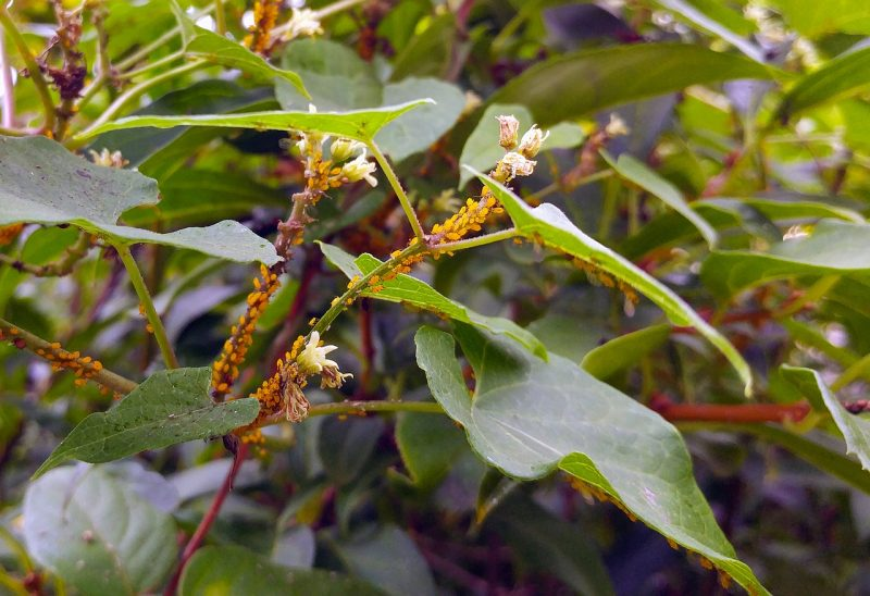 Aphids on milkweed plant.