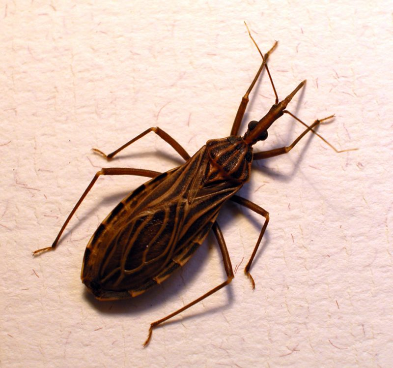 Kissing bug prevention.